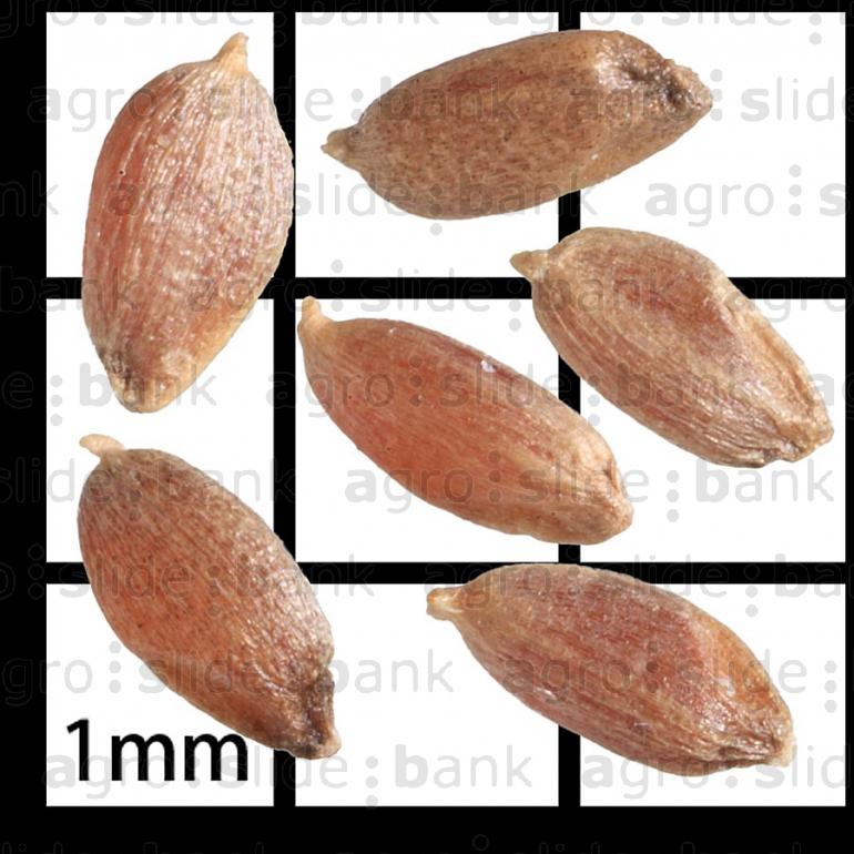 Semillas agro slide bank - Semillas de gramon ...