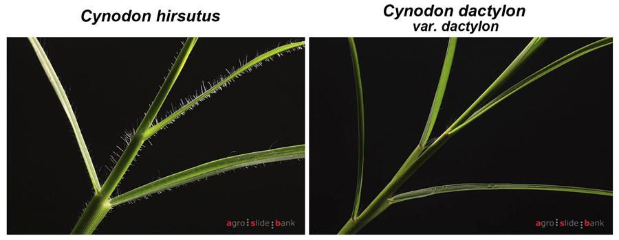 Avances en el manejo de cynodon hirsutus resistente a - Semillas de gramon ...